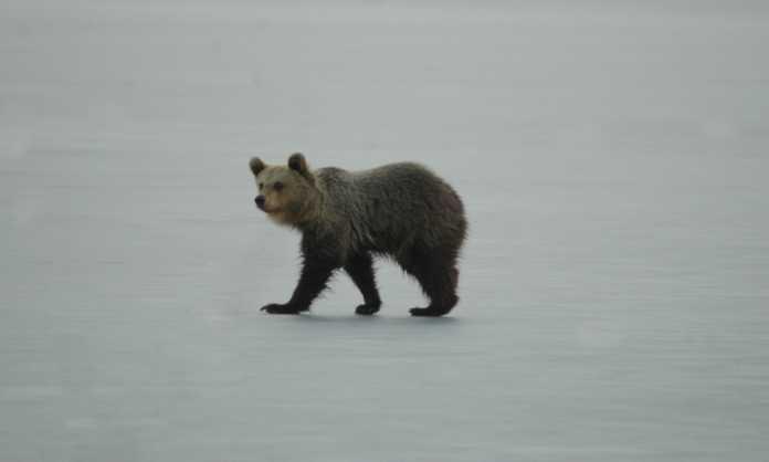 Νεαρή αρκούδα… βόλταρε στη λίμνη της Καστοριάς επί ώρες (φωτο) 2