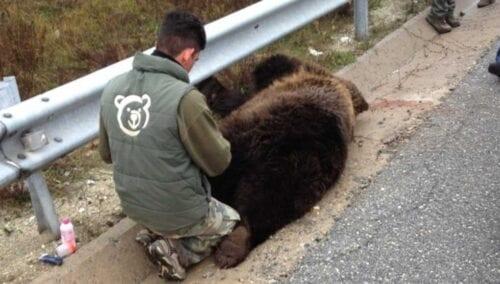 Νεκρή αρκούδα νεαρής ηλικίας εντοπίστηκε στην Εγνατία Οδό στον κόμβο Καλαμιάς Κοζάνης 1