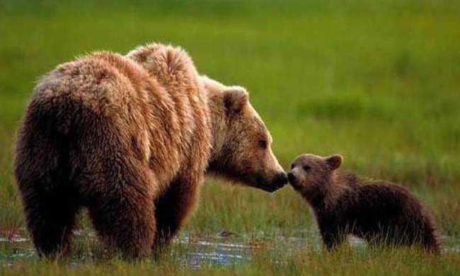 Εφαρμογή διαχειριστικών μέτρων αντιμετώπισης περιστατικών εμφάνισης αρκούδων στις πόλεις της Φλώρινας και της Καστοριάς