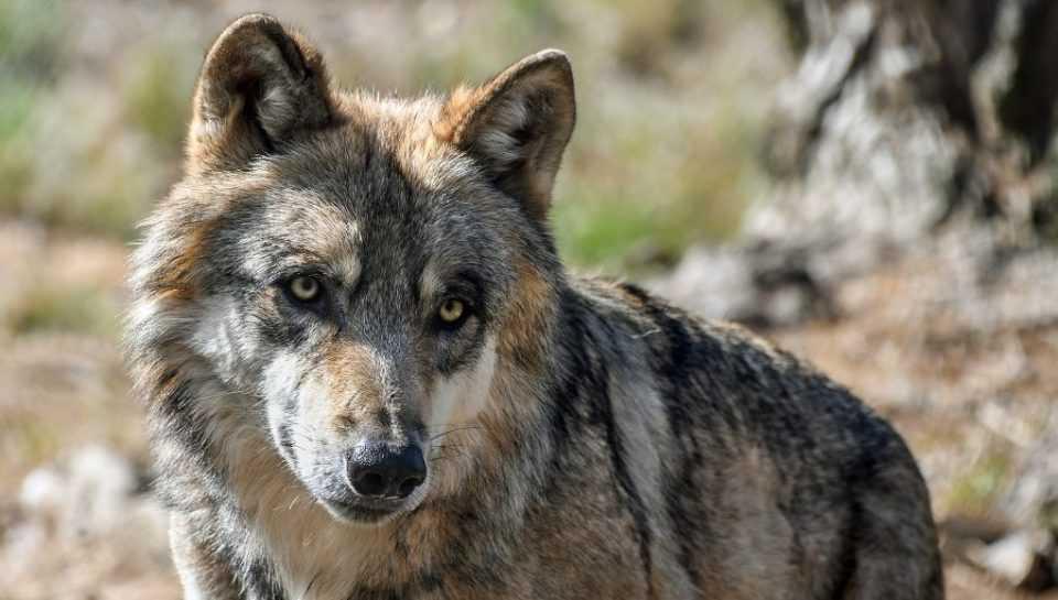 Κοζάνη: Εμφάνιση λύκων σε κατοικημένη περιοχή 2