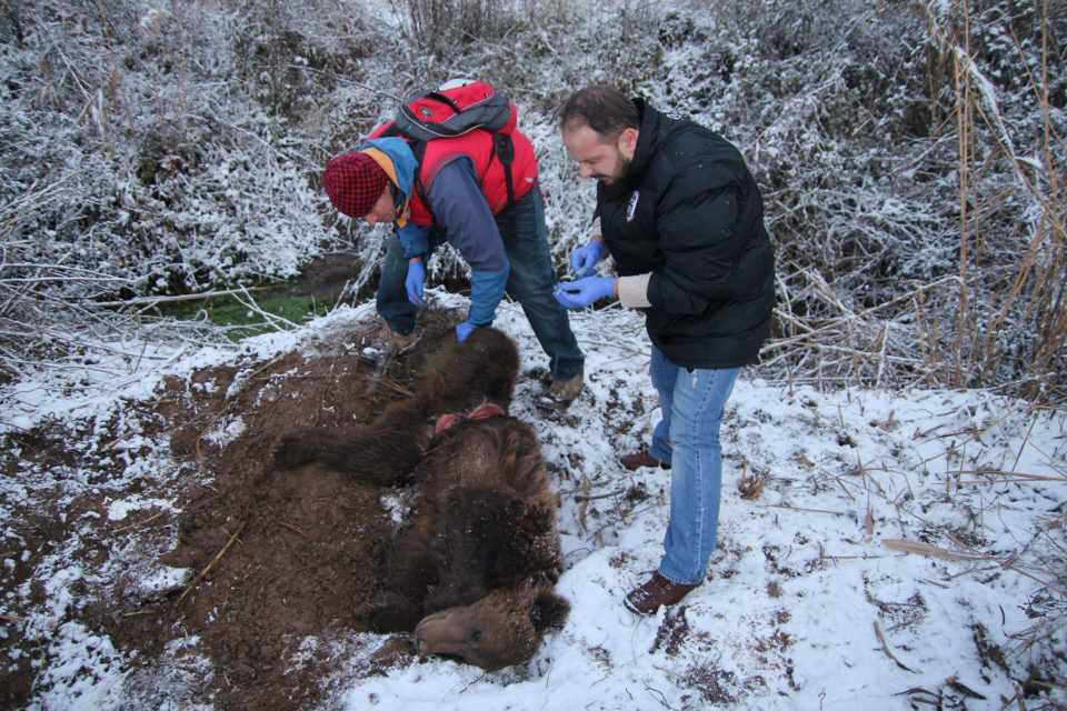 Εντοπισμός παγιδευμένης αρκούδας στην Τ.Κ. Λευκώνα Πρεσπών της Π.Ε. Φλώρινας 1