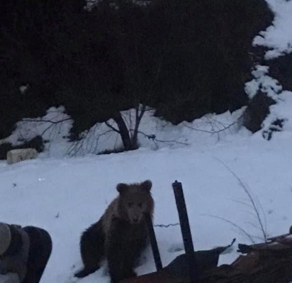 Φλώρινα: Αρκούδα μπήκε σε αυλή σπιτιού 1