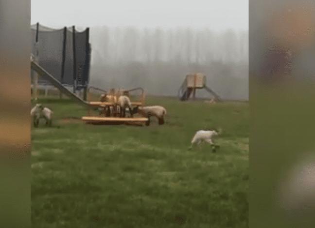 Το viral βίντεο με τα πρόβατα που κάνουν γύρω-γύρω όλοι!