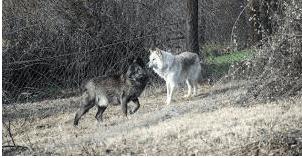 Εορδαία: Λύκοι και Αρκούδες «κόβουν βόλτες» γύρω  από το Δροσερό 2