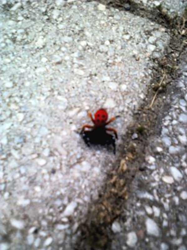 Το πιο σπάνιο είδος αράχνης, παγκοσμίως, στα Γρεβενα (Eresus Cinnaberinus) ή αράχνη πασχαλίτσα (Φωτογραφίες) 4