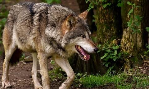 Εορδαία: Λύκοι και Αρκούδες «κόβουν βόλτες» γύρω από το Δροσερό