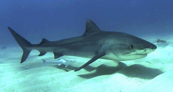 Ψαράς έπιασε μπλε καρχαρία στην Ηλεία