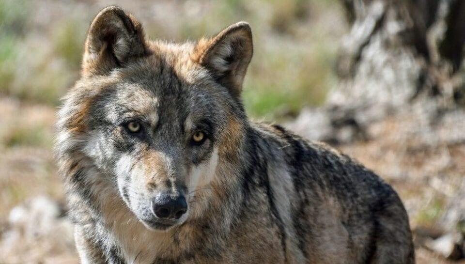 Εορδαία: Λύκοι και αγριόχοιροι ρημάζουν κοπάδια και σπαρτά