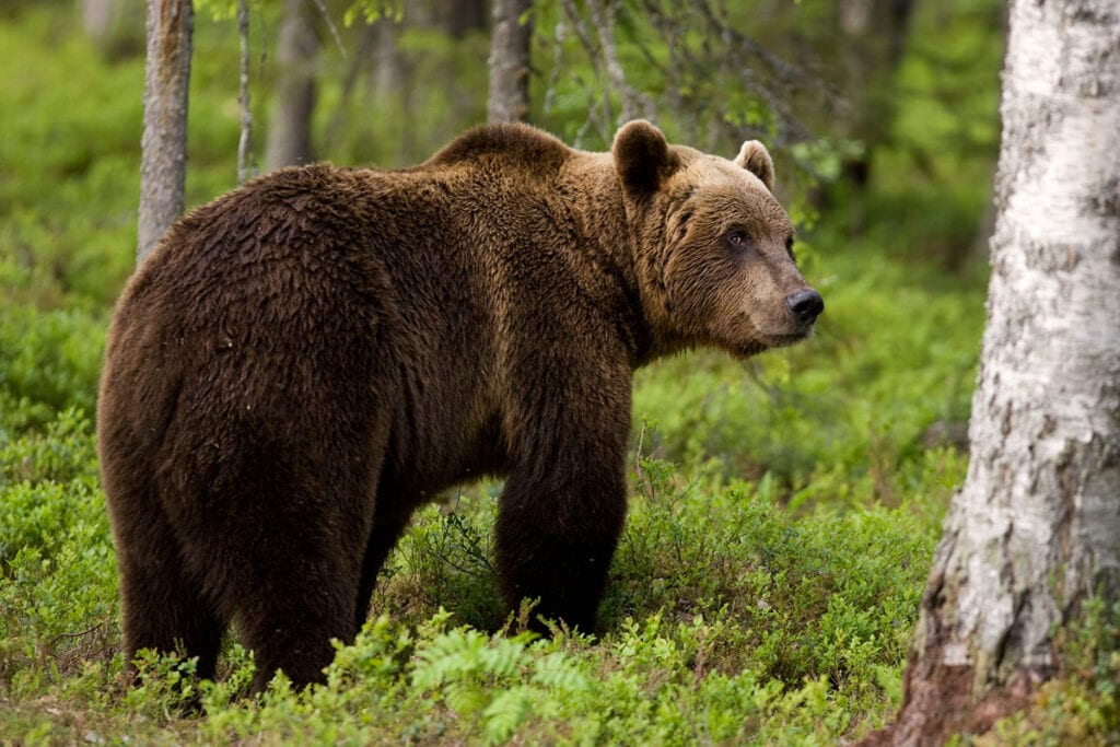 Διέφυγε το κίνδυνο ο 25χρονος από την Καστοριά που πάλεψε με αρκούδα