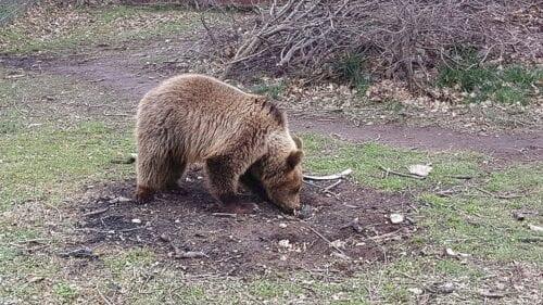 Καστοριά: Μεγάλη κινητοποίηση για μικρό αρκουδάκι