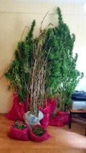 Συνελήφθη 45χρονος ημεδαπός για καλλιέργεια 7 δενδρυλλίων κάνναβης, σε περιοχή της Καστοριάς 3