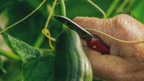 Τρίκαλα: Έβγαλε αγγούρι 52 εκατοστών από τον κήπο της