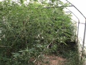 Συνελήφθη 51χρονος σε περιοχή της Καστοριάς για καλλιέργεια δενδρυλλίων κάνναβης 5