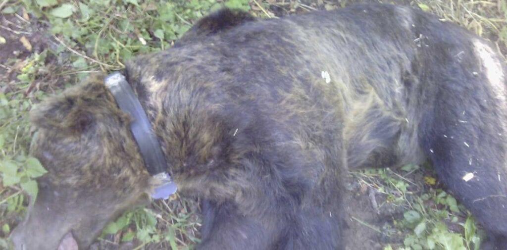Φλώρινα: Κινητοποίηση για μεγαλόσωμη αρκούδα που παγιδεύτηκε σε παράνομη θηλιά για αγριογούρουνα