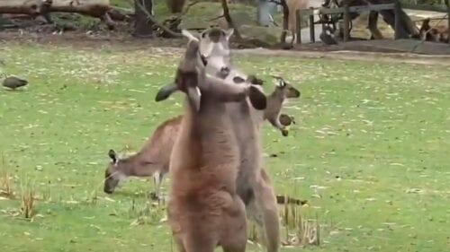 Καβγάς ανάμεσα σε καγκουρό – Έπαιξαν μπουνιές