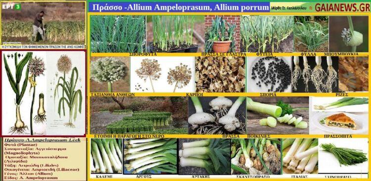 πράσσο -allium ampeloprasum, allium porrum- φυτα απο τουσ αγρουσ & τισ παλιεσ αυλεσ τησ κοζανησ