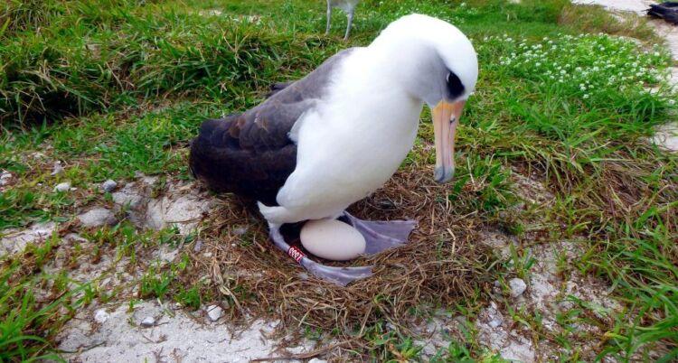 Το γηραιότερο άγριο πτηνό του κόσμου, ηλικίας 70 ετών, γέννησε για 40στή φορά