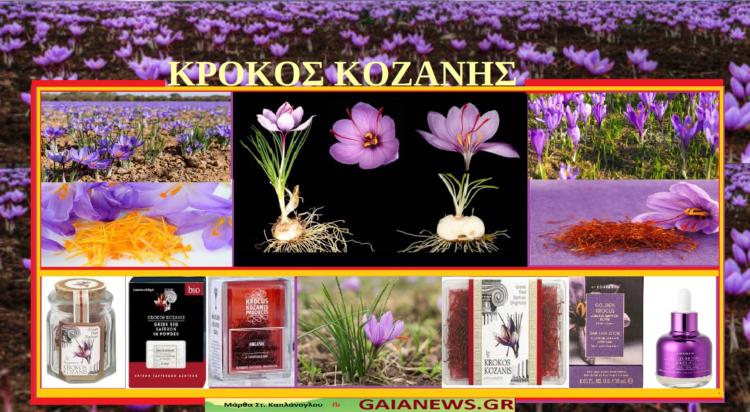 Φυτά από τους αγρούς και τις παλιές αυλές της Κοζάνης Κρόκος Κοζάνης - Κρόκος ο ήμερος – Ζαφορά – Σαφράν -Σαφράνι - Crocus sativus (video )