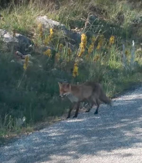 Μια ατρόμητη αλεπού στην Καστοριά (βίντεο)