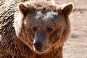 Εμφάνιση αρκούδας στην περιοχή «Τσακάλια» της Δημοτικής Κοινότητας Γρεβενών