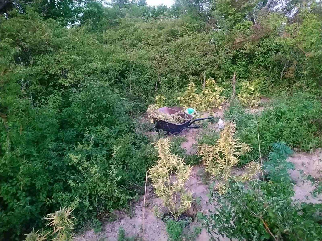 Εντοπίστηκε φυτεία δενδρυλλίων κάνναβης αποτελούμενη από -29- δενδρύλλια, σε αγροτική περιοχή των Γρεβενών και συνελήφθησαν τρία (3) άτομα για καλλιέργεια δενδρυλλίων κάνναβης