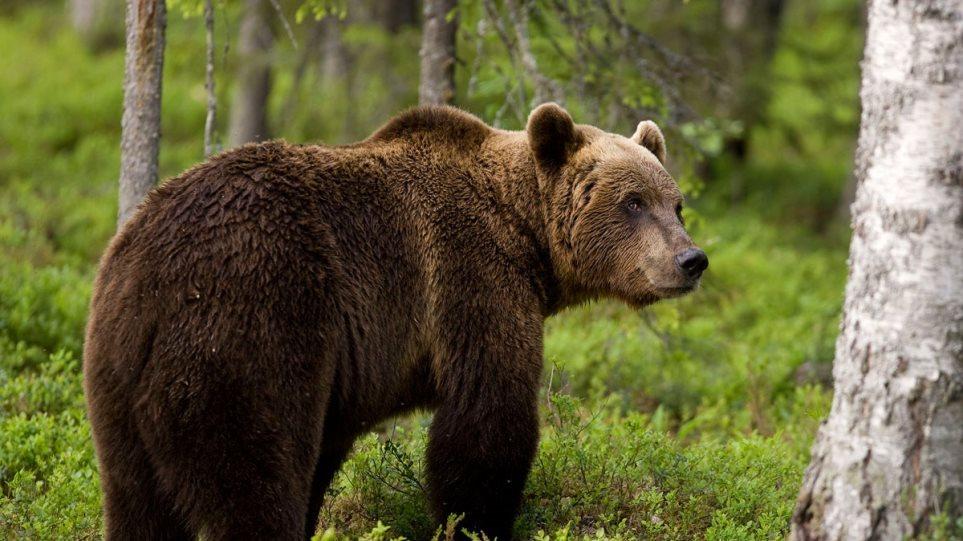 Προσοχή: Αρκούδες κυκλοφορούν σε κατοικημένες περιοχές της Π.Ε. Φλώρινας