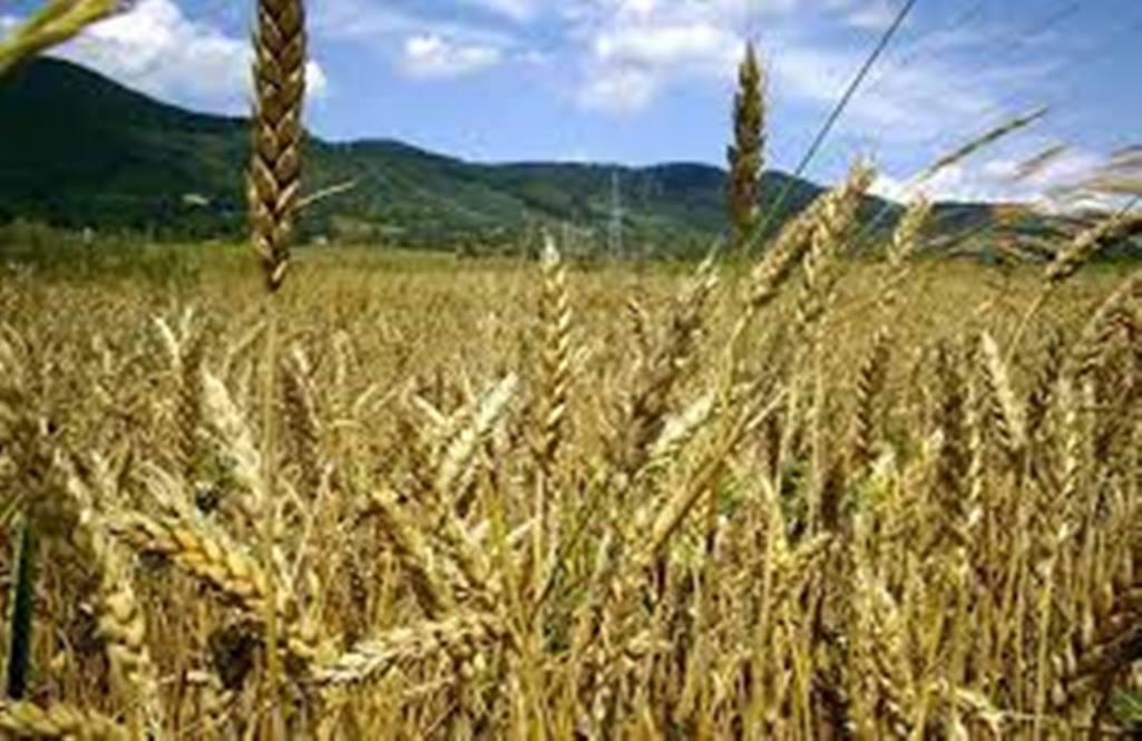 Εορδαία: Η χειρότερη χρονιά για τα σιτηρά – Μείωση παραγωγής έως και 60%