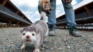 Διεξαγωγή επιστημονικής έρευνας για τη σύλληψη και απομάκρυνση άγριων μικρών θηλαστικών από τον αστικό ιστό της πόλης Κοζάνης
