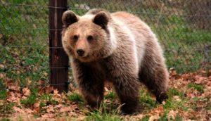 Αρκούδα στο Μικρόκαστρο Κοζάνης επιτέθηκε τρεις φορές σε ζώα