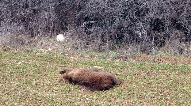 Εντοπισμός νεκρής αρκούδας & εμφάνιση αρκούδας με το μικρό της σε περιαστική περιοχή του Δήμου Κοζάνης