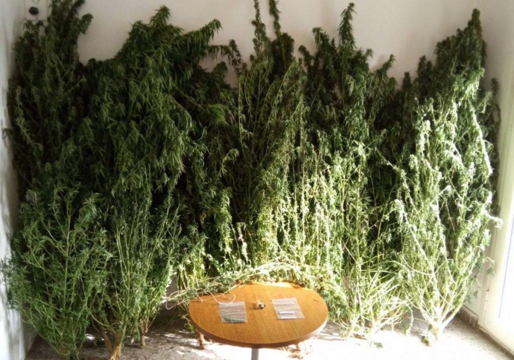 Συνελήφθη 52χρονος σε περιοχή των Γρεβενών για καλλιέργεια 14 δενδρυλλίων κάνναβης και κατοχή ναρκωτικών ουσιών
