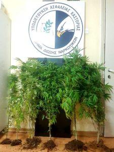 Συνελήφθη 73χρονος σε περιοχή της Καστοριάς για καλλιέργεια δενδρυλλίων κάνναβης και κατοχή ναρκωτικών ουσιών
