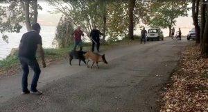 """Αγριογούρουνα βγήκαν """"βόλτα"""" στη λίμνη της Καστοριάς (video)"""