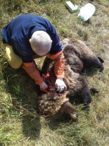 Νεκρή αρκούδα από πυροβολισμό στην Πρέσπα