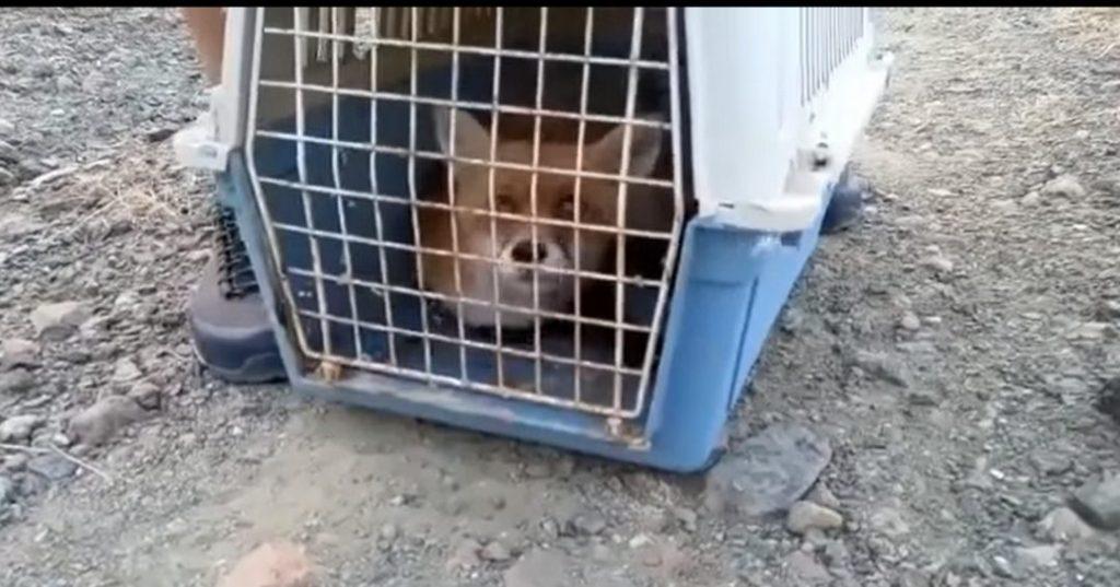 """Κίρα: Η αλεπού που """"αναστήθηκε"""" από εθελοντές στην Καστοριά (video)"""