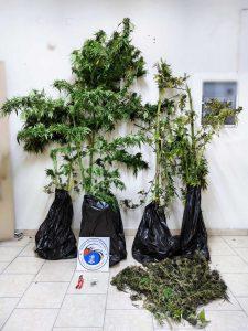 Συνελήφθη 56χρονος σε περιοχή της Εορδαίας Κοζάνης για καλλιέργεια δενδρυλλίων κάνναβης και κατοχή ναρκωτικών ουσιών