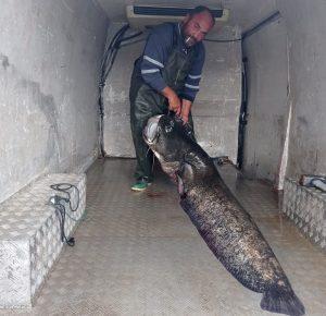 Κοζάνη: Ψάρεψε γουλιανό 123 κιλά στην λίμνη Πολυφύτου